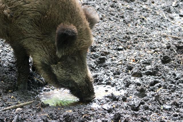wildschwein-crw_4965.jpg